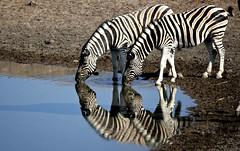 ZEBRE ALLA POZZA (peo pea) Tags: africa nature bush natura mammals namibia animali animale etosha riflesso pozza savana naturalmente zebre specanimal bornfreelivingfree naturewatcher peopea wwfita