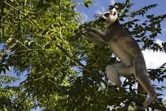 Lemur catta (rackyross) Tags: africa naturaleza nature animals fauna wildlife natura lemur afrika animales madagascar animali lemure catta madagasikara lemuridae