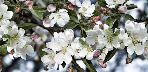 Orillia - Apple Blossom Time; along Mississaga Street's residential area apple treems bloom in early spring