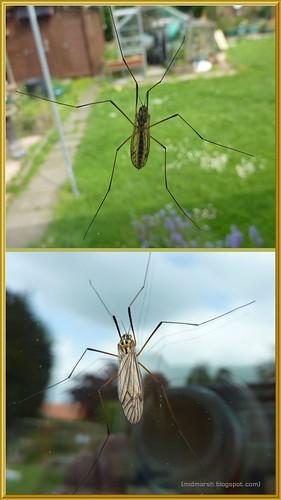 Crane-fly Nephrotoma flavescens