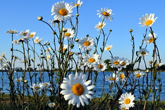wild dog daisies (dangerousdavecarper) Tags: daisies bluesky daisy wildflowers oxeye leucanthemum vulgare dogdaisies d5000