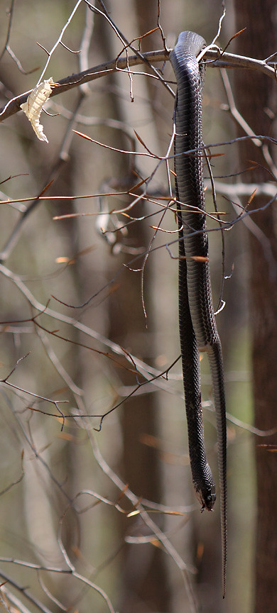 black rat snake hanging from tree