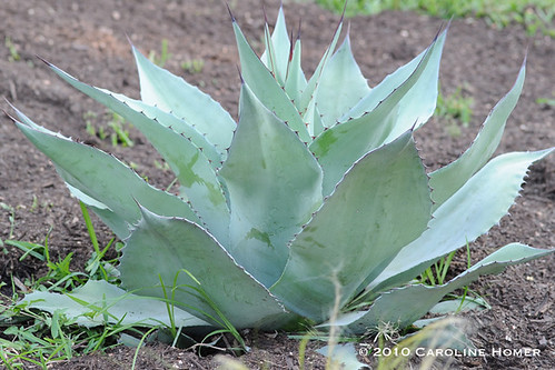 Whale's tongue agave?