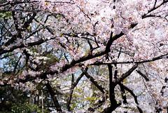 (Bernat Nacente) Tags: park japan 50mm fuji ueno f14 melody  pro  sakura fujifilm nikkor parc  hanami jap  s5   s5pro