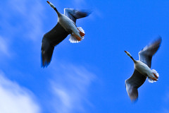 geese flying overhead (Xingjian) Tags: china bird canon flying geese 7d qinghai