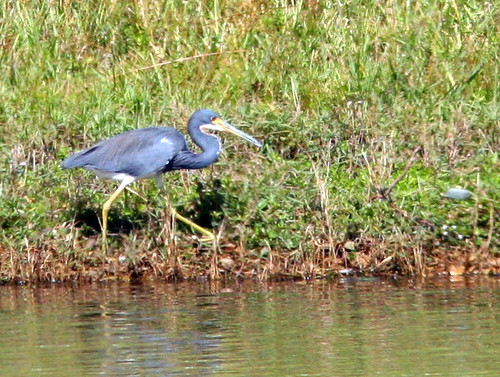 Tricolored Heron 20101115