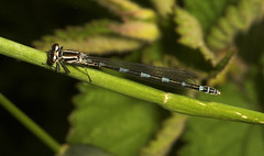 """Variable Damselfly (Coenagrion pulchellum) • <a style=""""font-size:0.8em;"""" href=""""http://www.flickr.com/photos/57024565@N00/538880595/"""" target=""""_blank"""">View on Flickr</a>"""