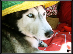 Mexico lindo y querido (aunqtunolosepas) Tags: blue dog pet pets cute eye dogs beautiful beauty hat fashion animal animals azul puppy mexico model eyes husky funny pretty bea moda huskies cutie luna modelo perro mexican domestic cap ojos bonita perros animales sombrero lovely cuteness siberian mascota mascotas domestico perritos lunita perra fasion fashionable mejico graciosa siberiano mejicano domesticos siberiana impressedbeauty isawyoufirst aunqtunolosepas pet500 pet1000 dazzlingshots goldstaraward