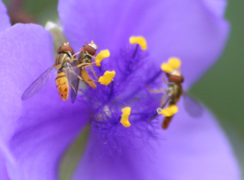 honey bee on spiderwort 02