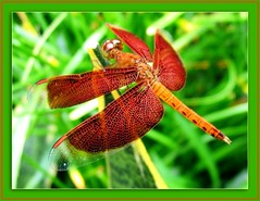 Red Grasshawk Dragonfly / Neurothemis fluctuans (Odonata - Anisoptera)