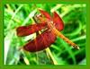 Red Grasshawk Dragonfly (Neurothemis fluctuans)
