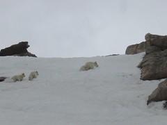 Mountain Goat Family in Snow on Mt Evans (DHLake) Tags: family summer mountain snow animals kids rockies evans spring colorado mt wildlife goats alpine co rockymountains herd mountaingoats mountevans mtevans route5 coloradowildlife