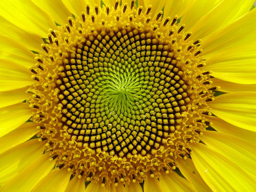 SunFlower: the Fibonacci sequence, Golden Section | Flickr - Photo ...