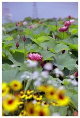 Lotus 070710 #04