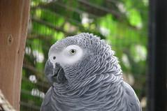 Papagaio-Cinzento / African Grey Parrot