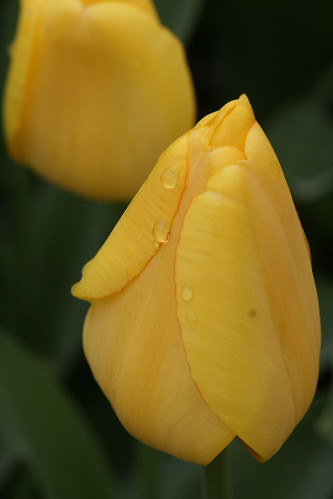 Yellow Tulip with Dew Drop