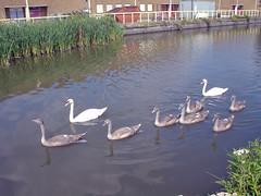 7 cygnets-a-swimming (diamond geezer) Tags: swans cygnets riverlea pondersendlock