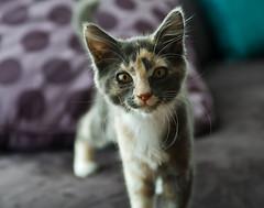Splotch (Belltown) Tags: portrait cats eyes kittens eos1dmarkiii