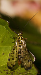 "Male Scorpion Fly (panorpa germanica)(9) • <a style=""font-size:0.8em;"" href=""http://www.flickr.com/photos/57024565@N00/1293953304/"" target=""_blank"">View on Flickr</a>"