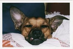 Bantum (saumer) Tags: snaggletooth batdog