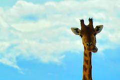 Tra le Nuvole (jojofotografia) Tags: sky parco color ex colors animal zoo nikon nuvole colore blu dream sigma boom cielo 200 beast giraffe 28 70 azzurro colori 70200 animali giraffa sogno sigma70200 sbadato d700 sognante nikond700