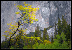 Yosemite Trees (Mike Hornblade) Tags: trees yosemite elcapitan softlight