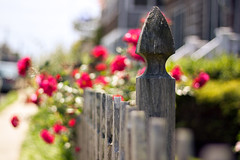 {Bloomin' Roses} Fence Friday (Jaime973) Tags: roses canon fence 50mm raw dof bokeh friday hff happyfriday