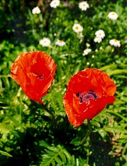 Big Poppies