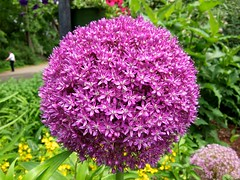 Allium 'Gladiator' 繡球蔥