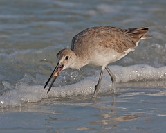 Willet Eating Coquina Clam On Beach Fort DeSoto Park (kevansunderland) Tags: gulfofmexico birds clam migration sandpiper oilspill shorebird willet naturesfinest coquina goldaward birdphotography floridabirds bpoil donaxvariabilis