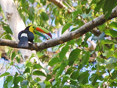 Keel-billed Toucan at Hacienda baru, Costa Rica. (Sky and Yak) Tags: costa bird america toucan costarica central beak rica baru hacienda haciendabaru keelbilledtoucan keelbilled