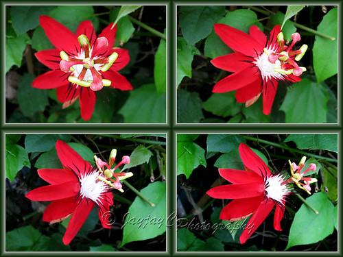 Passiflora miniata / Passiflora coccinea hort. (Red granadilla, Scarlet/Red Passion Flower) at St Paul's Church, KKB