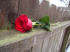 red rose (dreamer) Tags: winter rose fence