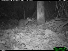 Central American Agouti (siwild) Tags: bci centralamericanagouti dasyproctapunctata rodentsandrabbits taxonomy:group=rodentsandrabbits sequence:index=97 file:name=img0429jpg siwild:study=fruitingpalmtrees siwild:studyId=panapalm sequence:length=130 siwild:Rank=0 geo:locality=panama taxonomy:species=dasyproctapunctata taxonomy:common=centralamericanagouti siwild:plot=50 siwild:location=1811 siwild:camDeploy=1263 sequence:id=26742 siwild:trigger=53751 siwild:date=200905190601000 siwild:imageid=522355 file:path=dpicsrunsastromammalsvfem1terrestrial1img0429jpg siwild:region=panama sequence:key=65 siwild:species=119 BR:batch=sla0620101217042227 geo:lon=9167303 geo:lat=79841214