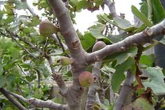 Aruban figs (Gerard's World) Tags: aruba figs