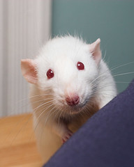 Yoda impression (dallsoppuk) Tags: pet pets white cute debs furry rat yoda rats pew