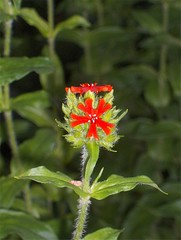 Burning Love (Elsa Kurppa) Tags: red flower suomi finland blomma 2007  rd punainen kukka burninglove  lychnischalcedonica brennendeliebe  palavarakkaus brinnandekrlek elsakurppa