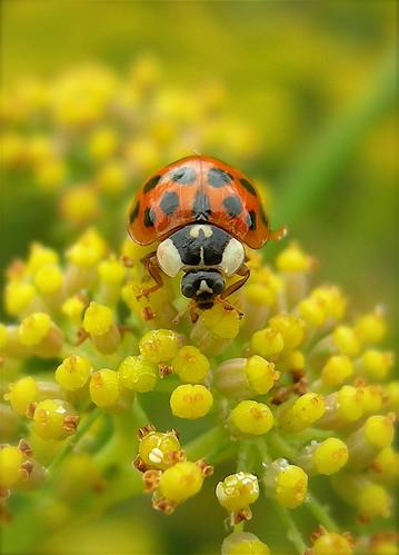 Ladybird by Mrs eNil.