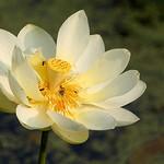 American Lotus thumbnail