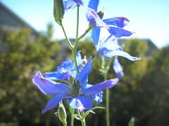 Delphinium (seitayoko) Tags: plant flower delphinium
