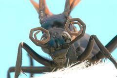 Tarantula Hawk #2 - by graftedno1