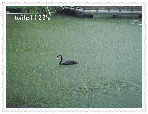 不怕雨淋的黑天鵝