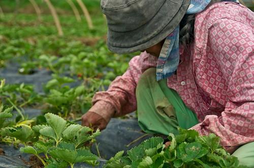 baguio la trinidad stawberry