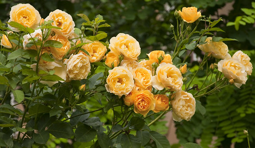 rose... de fapt orange