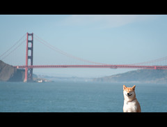 Look Closely (kaoni701) Tags: ocean sanfrancisco sunset portrait sky dog silly water smile project puppy japanese bay nikon funny marin tokina goldengatebridge laugh smirk suki shibainu shiba f28 535 shibaken 柴犬 50135 d300s 笑っている