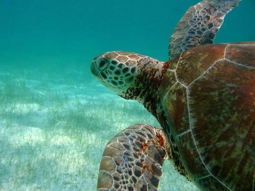這麼美的一個畫面,對海龜而言卻是一輩子的挑戰! 圖片來源:Robert van Dam/ seaturtle.org