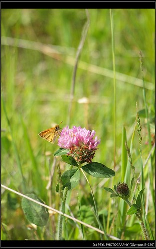 Unidentified Skipper on Clover