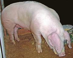 LANDRACE BREED PIG ~ cerdo de raza Landrace (240 x 192) Original=(2009 x 1607) (turdusprosopis) Tags: gris pig sau pigs siga swine muc hog hwch hogs cerdo cerdos moch svin txerria mascio svinja swines porko mochyn porcu landrace kochon ròi χοίροσ swien pemoch svinje tamsvin pourcea ᑰᐦᑰᔥ beraz khuchi tammevarken nimêl naminėkiaulė bisóodi pòrco kodusiga urdea baboydomestika pourceas coshets zwyn porsél porculdomestic porcdomestic sviňadomáca prasadomáce mājascūka värken сибиинньэ nguruwekaya landrasse landracebreed breedsofpigs pigbreeds domesticpigbreeds razzesuine 美国长白猪 猪品种 domaćasvinja baktindomestika tamgris verru paršos prasedomácí landracerace razalandrace razasporcinas raçasdeporcos raçassuínas razzadimaialedomesticolandrace razzalandrace raçalandrace