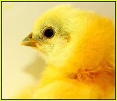 """Oh Sweet Romeo"" (Zebrani) Tags: portrait chicken yellow closeup open chick whitebackground poultry romeo rooster nigel blackeye cockerel silko halfkoshamohalfsilkie"