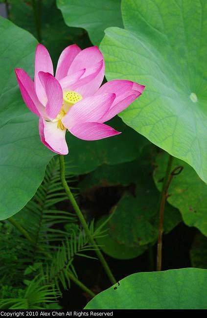 台北植物園 端午拍荷